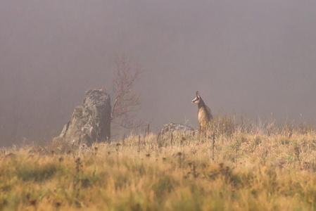 brouillard et chamois